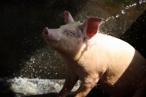 Image of a pig happily bathing from http://blogs.suntimes.com