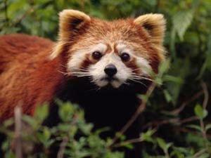 red panda sad
