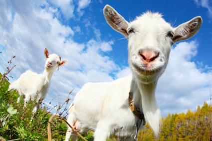 goat happy